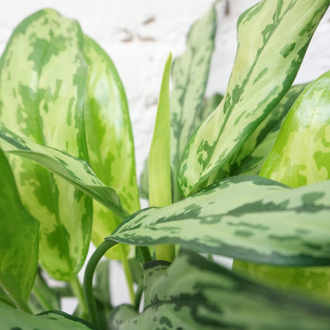 Medium Aglaonema 'cutlass' - Dahing Plants