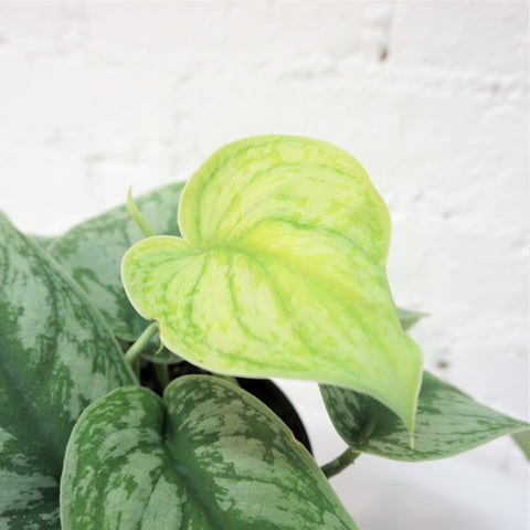 Medium Silver Satin Pothos - Dahing Plants