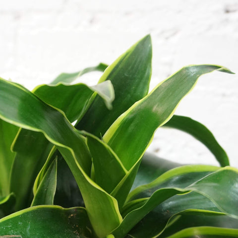 Medium Dracaena 'Dorado' - Dahing Plants