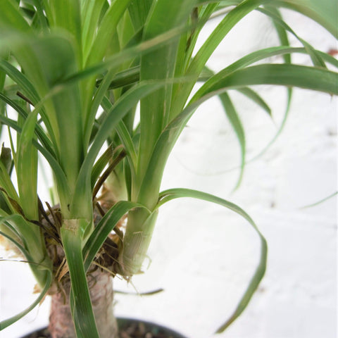 Medium Ponytail Palm - Dahing Plants