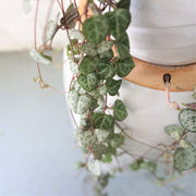 Hanging String Of Hearts Succulent Vine - Dahing Plants