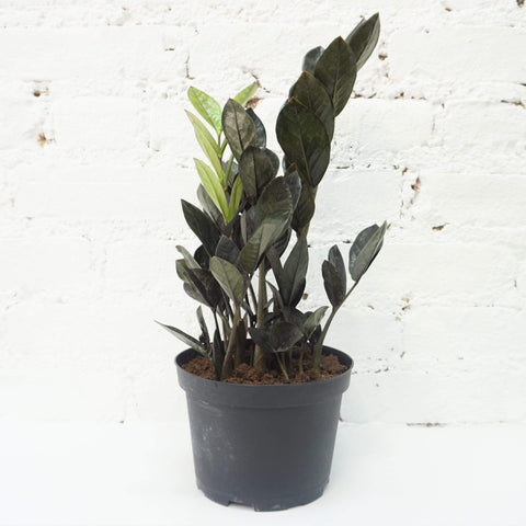 Medium Black Raven ZZ Plant - Dahing Plants