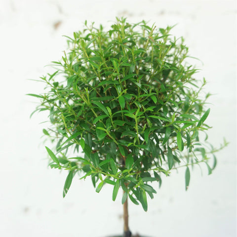 Small Common Myrtle