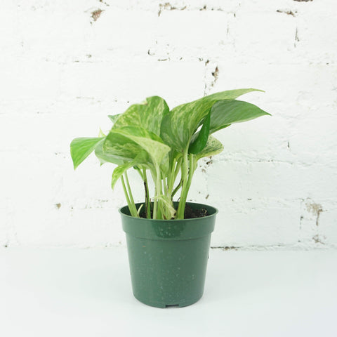 Small Marble Queen Pothos