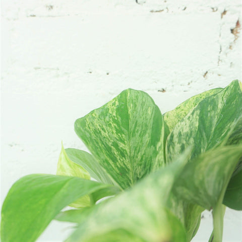 Small Marble Queen Pothos - Dahing Plants