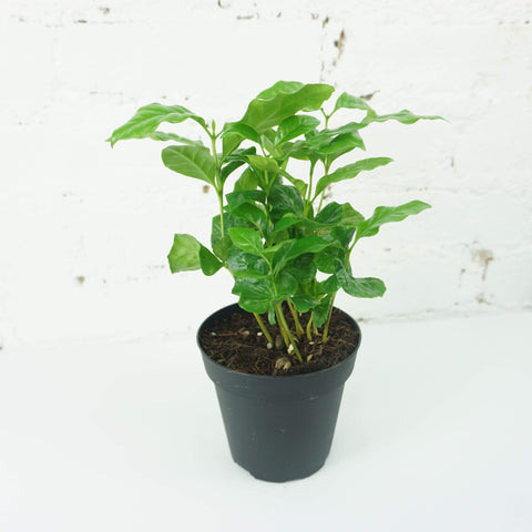 Small Coffee Plant