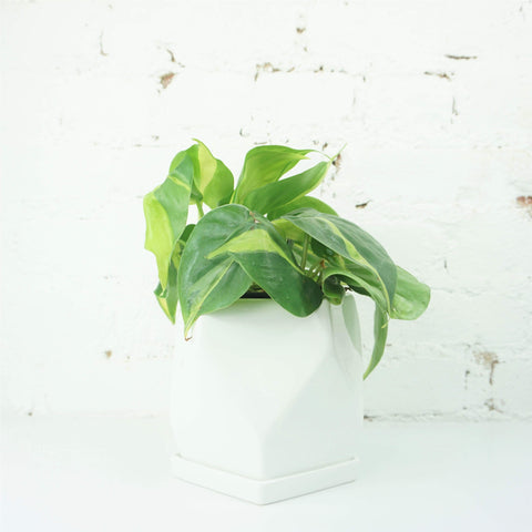 Small Philodendron 'brasil'