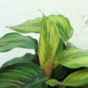 Medium Calathea 'Beauty Star' - Dahing Plants