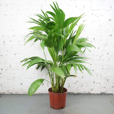 Large Chinese Fan Palm - Dahing Plants