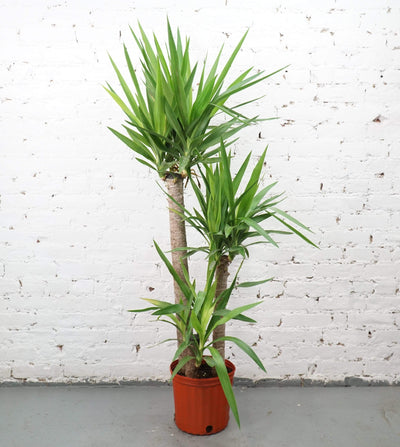 Large Yucca Cane - Pafe Plants