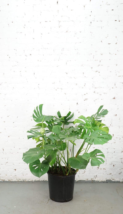 Full Size Monstera Deliciosa - Dahing Plants
