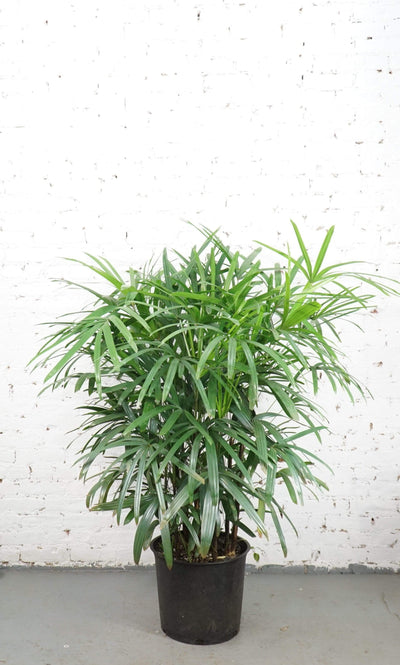 Full Size Lady Palm - Dahing Plants