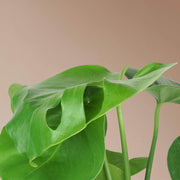 Medium Monstera Deliciosa - Pafe Plants 3
