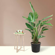 Full Size Bird Of Paradise - Pafe Plants