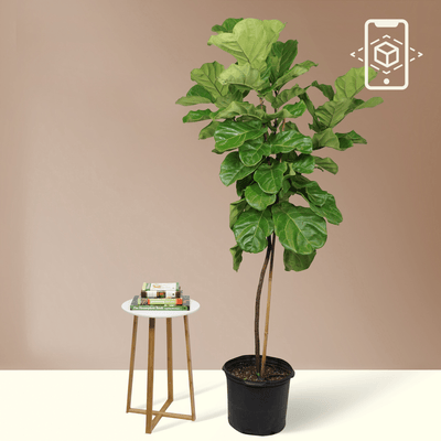 Full Size Fiddle Leaf- Pafe Plants