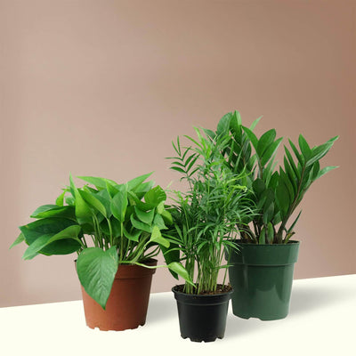 Low Light Trio - Pafe Plants