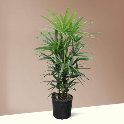 Large Lady Palm - Pafe Plants