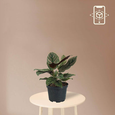 Medium Calathea Pinstripe - Pafe Plants