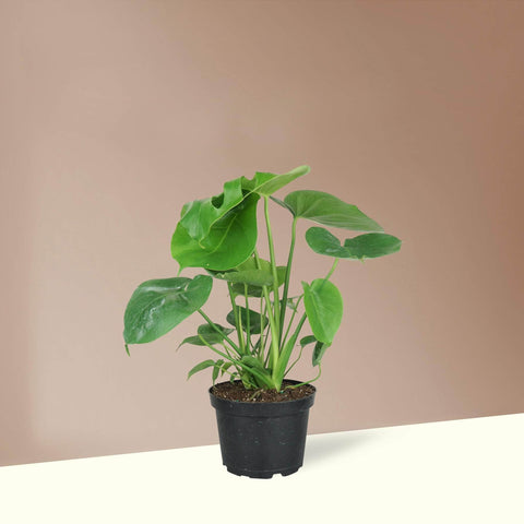 Medium Monstera Deliciosa - Pafe Plants
