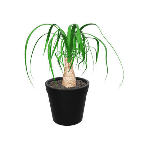 Medium Ponytail palm- 3d view Pafe Plants