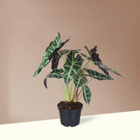 Medium Alocasia Polly - Pafe Plants