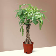 Large Money Tree - Pafe Plants