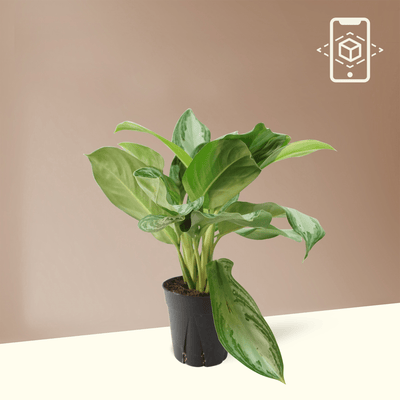 Medium Aglaonema 'Silver Bay' - Pafe Plants