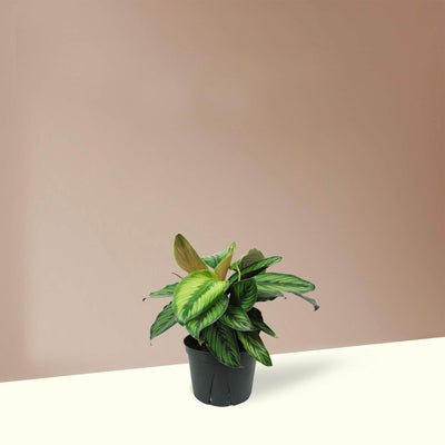Medium Calathea 'Beauty Star'