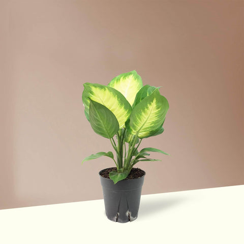 Medium Dieffenbachia 'Camille' - Pafe Plants