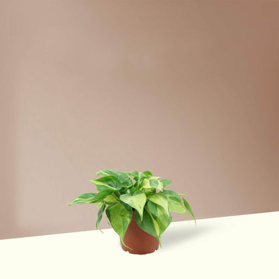 Medium Philodendron 'Brasil' - Pafe Plants