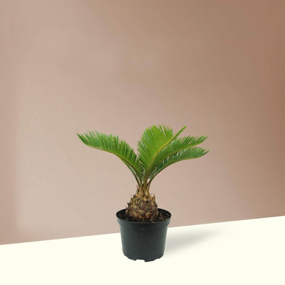 Medium Sago Palm