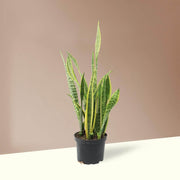 Medium Snake Plant - Pafe Plants