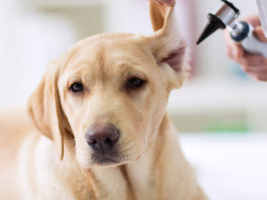 Keeping Your Pets Eyes and Ears Healthy Naturally