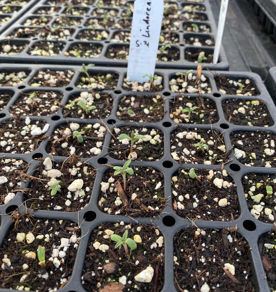 Lindorea starting to germinate in the greenhouse in Oregon
