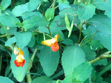 JEWEL WEED  SOAP - For preventing & healing Poison Ivy