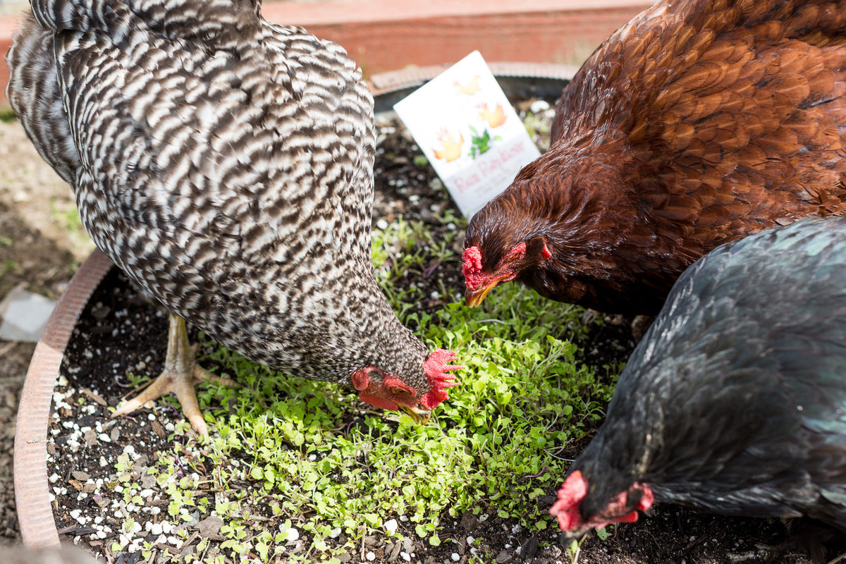 The Best Backyard Chickens + Why You Need Them... - Treats ...
