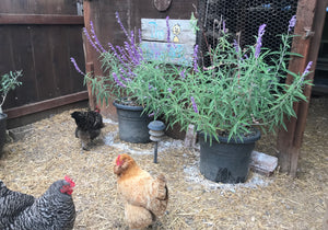 9 Quick Reasons to Use Food Grade Diatomaceous Earth around Backyard Chickens