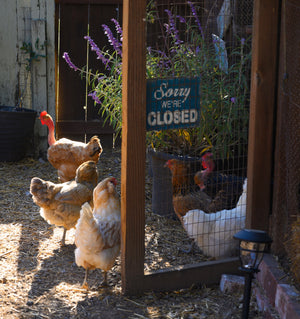 This Week at Treats for Chickens