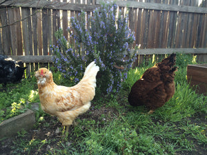 Plants that thrive & survive in my chicken run