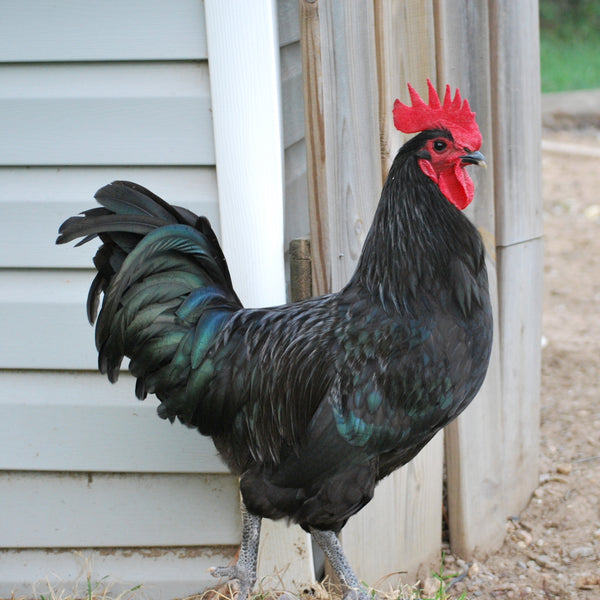 Complete Guide to Australorp Chickens & Australorp Chicken Facts – Treats For Chickens