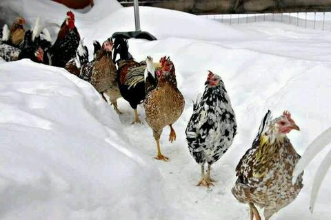 Guide to Molting Chickens in Winter - Treats For Chickens