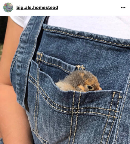 baby chick in pocket