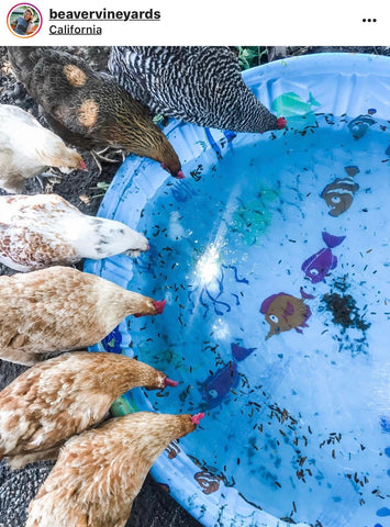 Chickens around kiddy pool