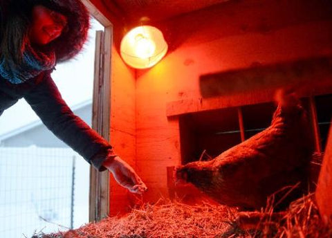 heat lamp for chickens