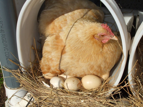 hen setting eggs
