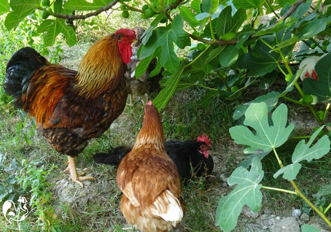 chickens in shade
