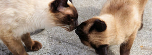 The Siamese Cat, an Exceptional Companion