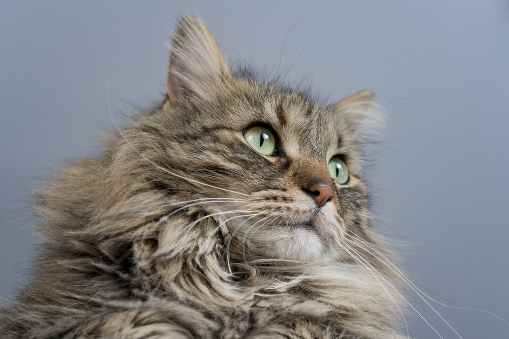 The Most Beautiful Maine Coon's Colors