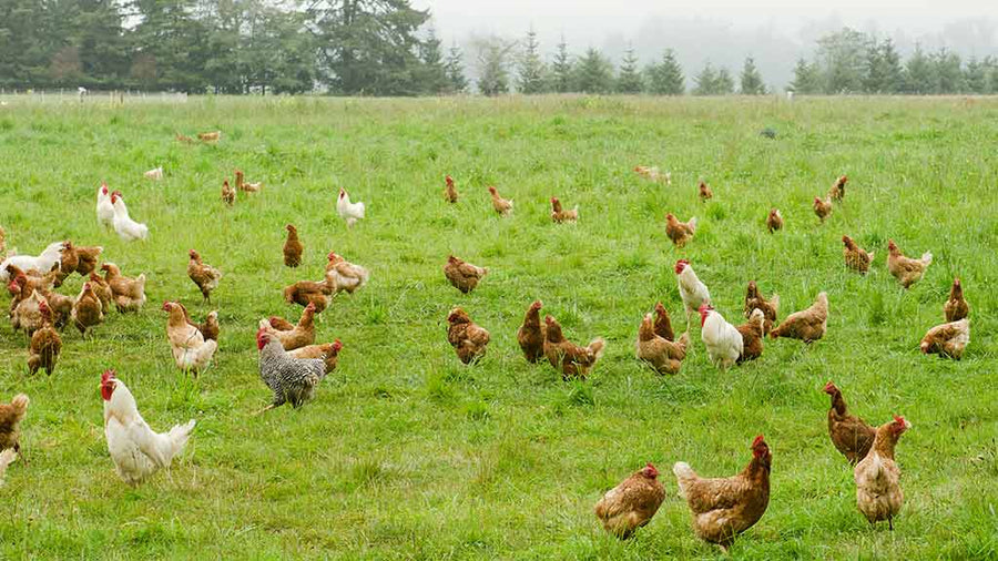 Roaster Chicken Farm to Fork