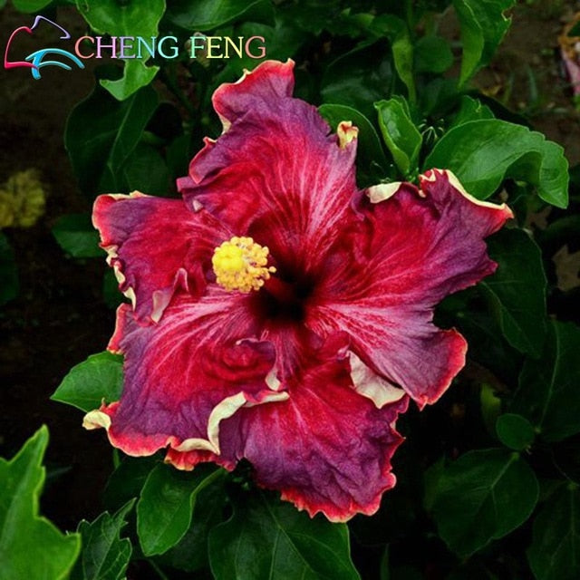 100 Pcs Giant Rainbow Hibiscus Flower Plants Chinese Diy Plant